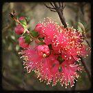 Kalbarri Wildflower by Miriam Shilling