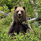 Boo Sits - Kicking Horse Grizzly Bear Refuge by James Anderson