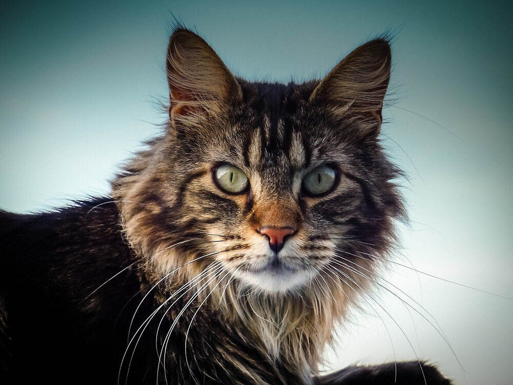 Maine Coon Cat by Fjfichman