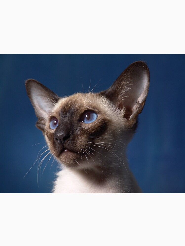Siamese Cat by Fjfichman