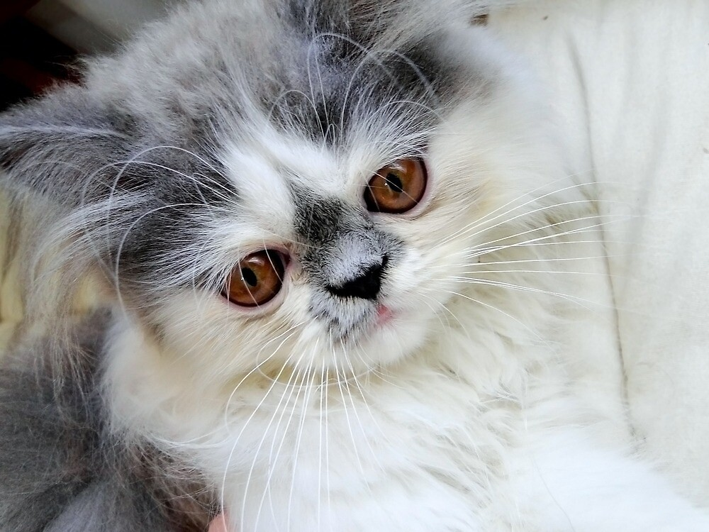 Persian Cat by Fjfichman