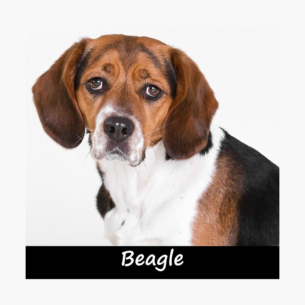 Beagle Photographic Print