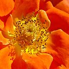 Herz von orange Rose von Joy Watson