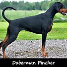 Doberman Pincher by Fjfichman
