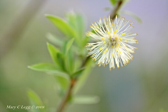 Blown pussywillow Salix by pogomcl