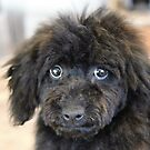 Mini Poodle named Sky by Fjfichman