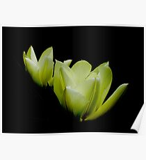 Duo of tulips Poster