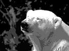 Portrait of the Polar Bear by Ryan Davison Crisp