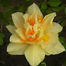 Double delight dressed in yellow.. by supernan