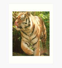 Tiger Licking His Lips !!!  at Colchester Zoo Art Print