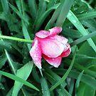 Crying Rose by MandaP