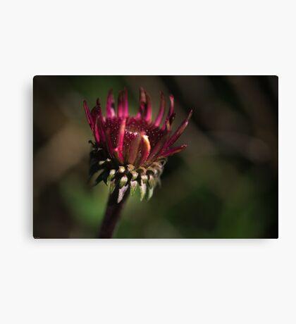 Echinacea Daybreak Canvas Print