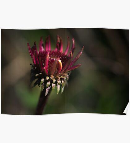 Echinacea Daybreak Poster
