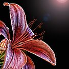 Lily on Black with Flare by Mary Lake