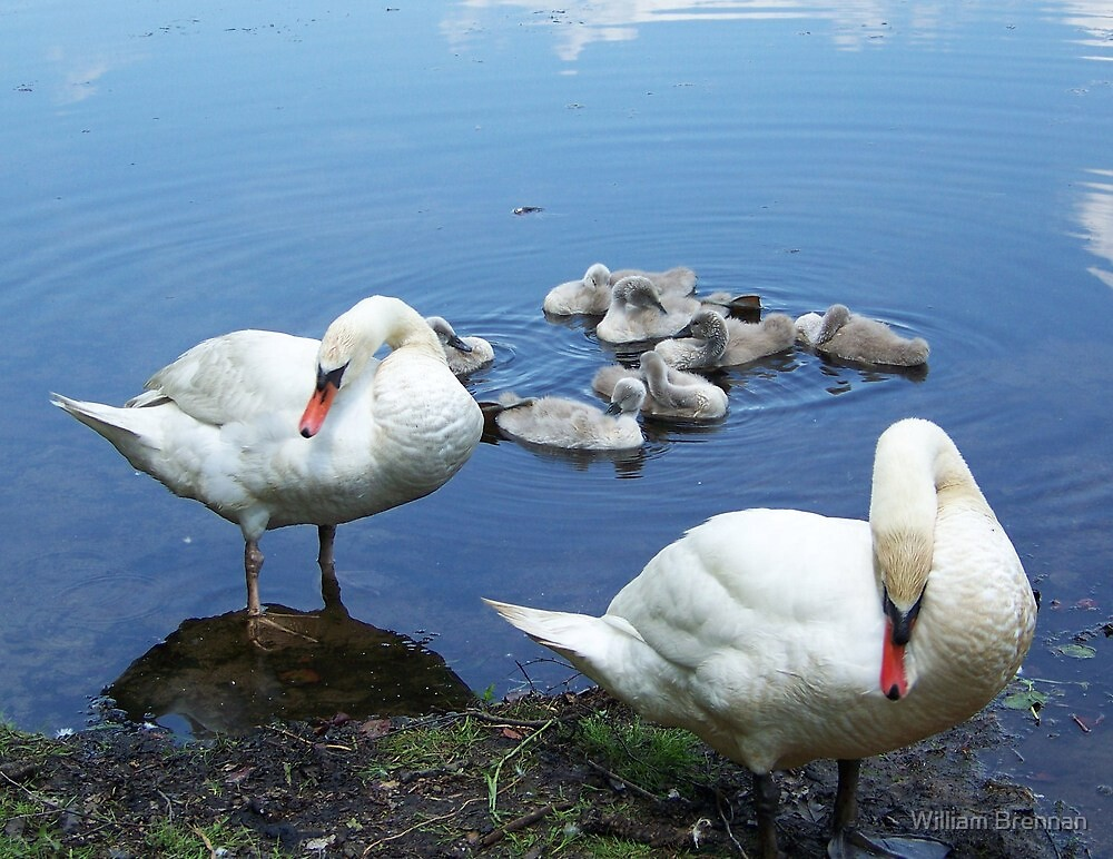 Mute swan family waiting for handouts. by William Brennan