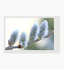 Pussywillow blooms Salix A Photographic Print