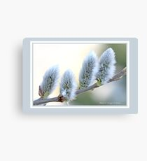 Pussywillow blooms Salix C Canvas Print