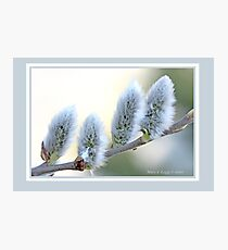Pussywillow blooms Salix C Photographic Print