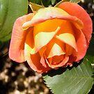 Orange Rose by Shulie1