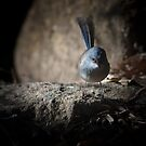 fairy-wren - moons crossing, wa by col hellmuth
