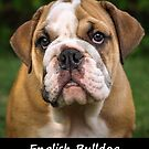 English Bulldog by Fjfichman