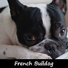 French Bulldog by Fjfichman