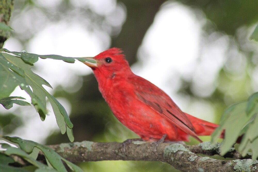 Red Tanager by Allybally62