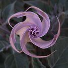 Purple Spinning Morning Glory by Jennifer  Gaillard