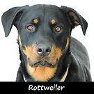 Rottweiler by Fjfichman