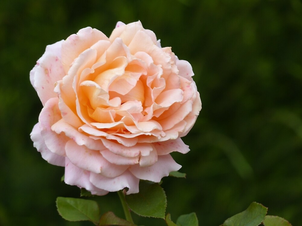 Apricot Rose by ConnieKerr