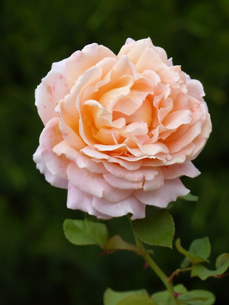 Apricot Rose - Vertical by ConnieKerr