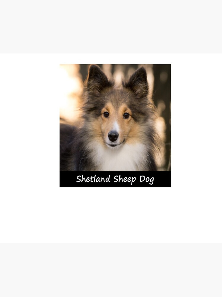 Shetland Sheep Dog by Fjfichman