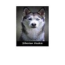 Siberian Huskie by Fjfichman