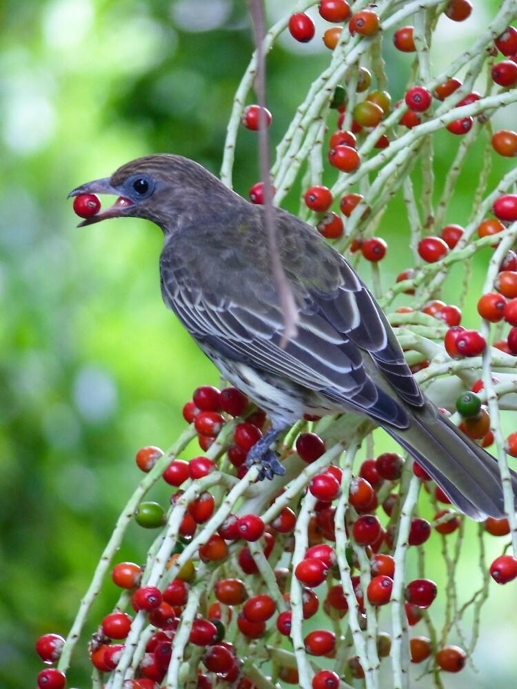 Figbird - Female - Feeding in Alexandra Palm by ConnieKerr