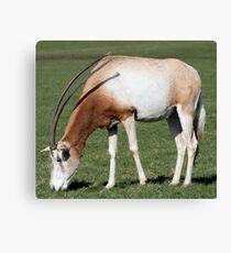 Scimitar-horned oryx 3 Canvas Print