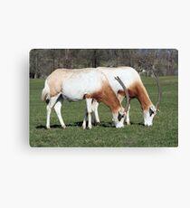 Scimitar-horned oryx 2 Canvas Print