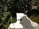 Miss Mercedes the Polar Bear by Ryan Davison Crisp