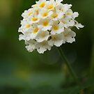 Grandma Flower, Royal Botanical Gardens Melbourne by Leigh Penfold