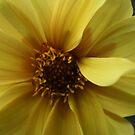 Yellow Dahlia, Royal Botanical Gardens Melbourne by Leigh Penfold
