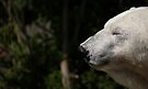 Mercedes, Edinburgh Zoo's Old Star by Ryan Davison Crisp