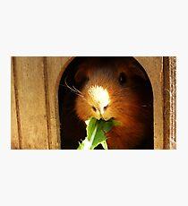 Cute guinea pig eating Photographic Print