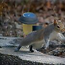 Hinterhof-Eichhörnchen in Eile von TJ Baccari Photography