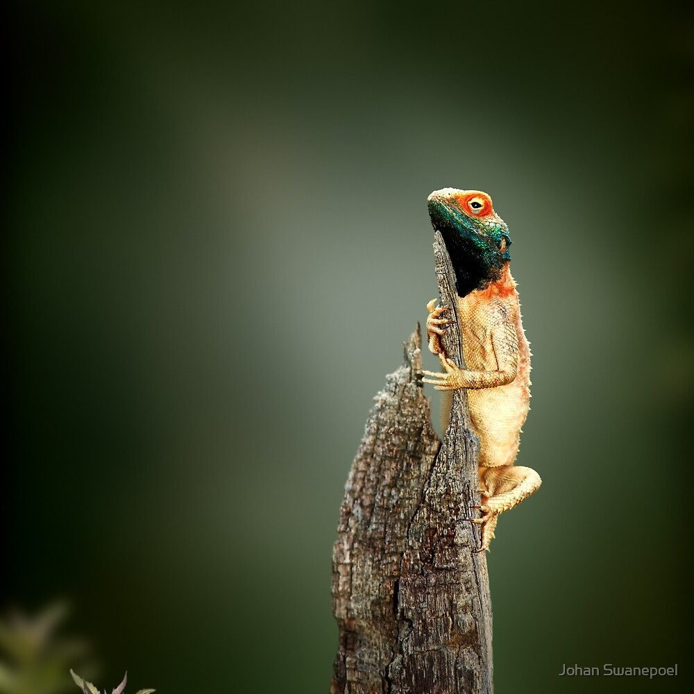 Ground agama (lizard) sunbathing by Johan Swanepoel