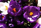 Crocuses by Carol Bleasdale