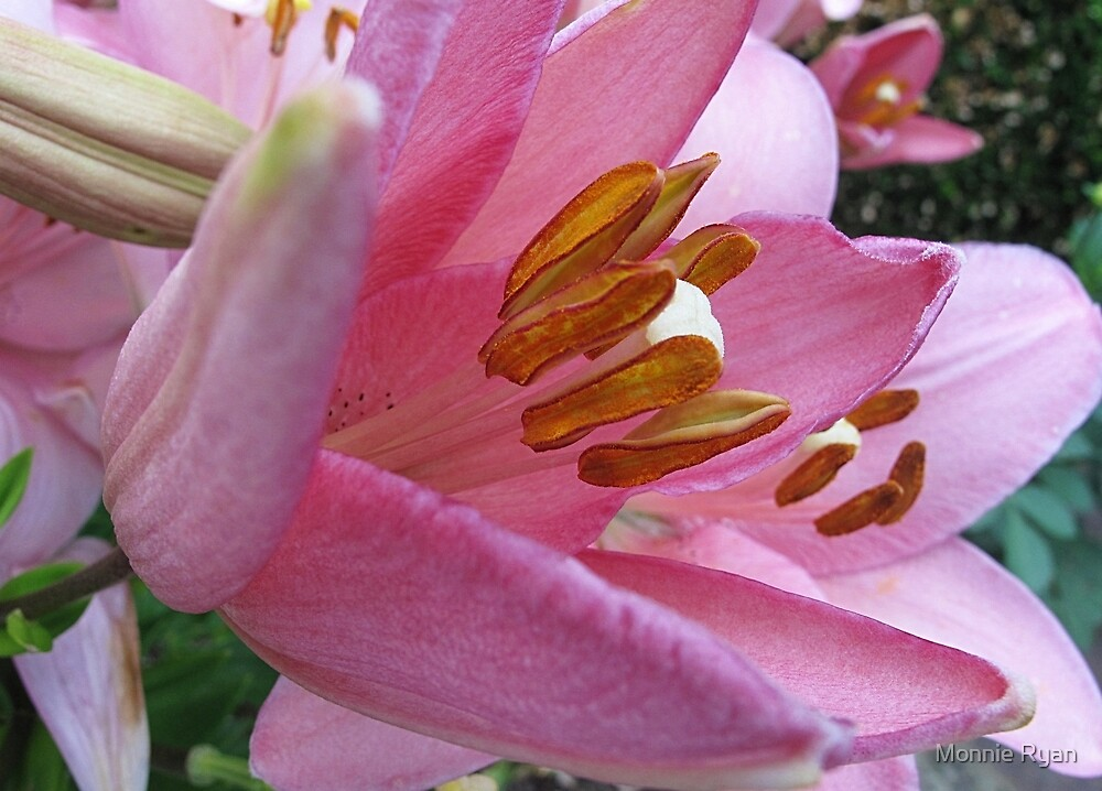 Pink Lily by Monnie Ryan