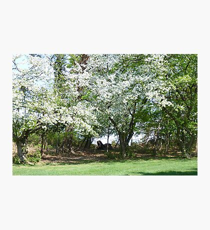 A Beautiful Appleblossom Tree in Springtime NJ Photographic Print