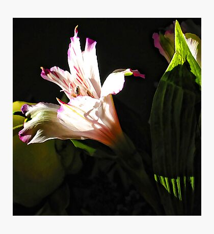 Birthday Bouquet - Peruvian Lilly in th Afternoon Sun  Photographic Print