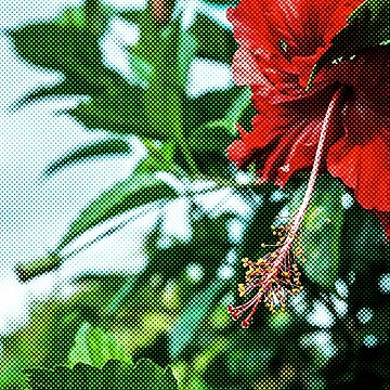 Red Hibiscus Flower  by Almdrs
