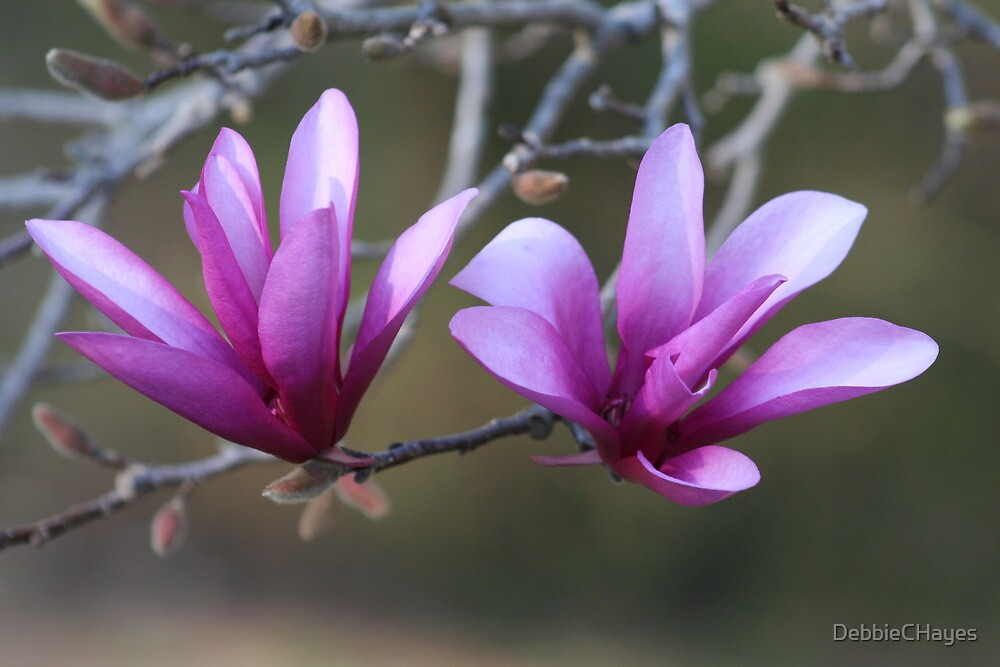 Quot Flowering Japanese Magnolia Tree Quot By Debbiechayes Redbubble