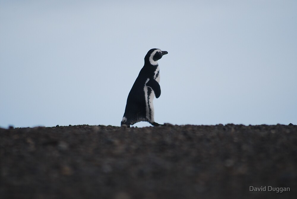Penguin out for a walk by David Duggan